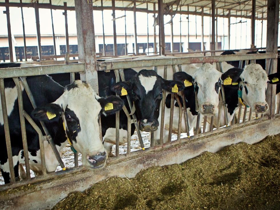 Afacere după model american. Ce rasă de vaci i-a adus unui fermier din Ialomița venituri de peste 10 milioane de euro pe an
