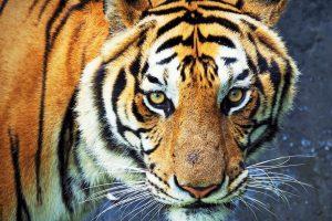 tigru economie getty newmoney