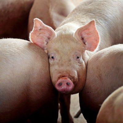 """De ce pesta porcină africană a """"lovit"""" doar fermele românești. O analiză, dincolo de teoria conspirației"""