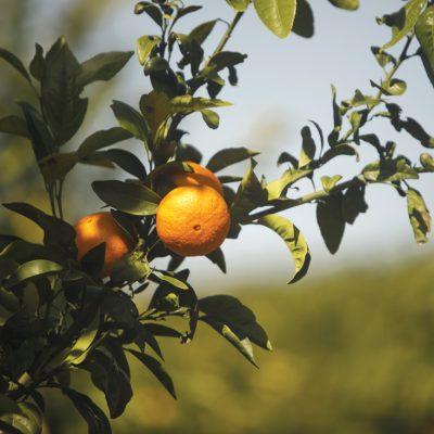 Ce importanță au avut în economia Israelului portocalele Jaffa
